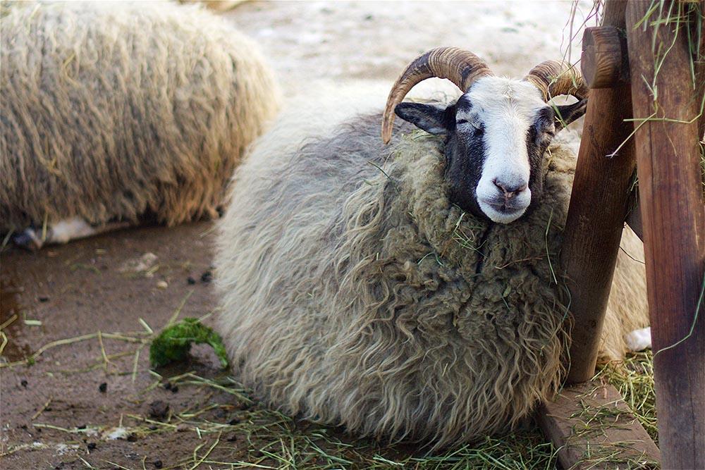Ein ultra-flauschiges schwedisches Schaf
